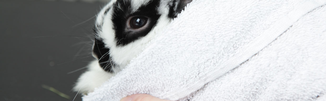 Microchipping your rabbit